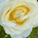 Variété de rose visible aux jardins de Roquelin à Meung-sur-Loire.