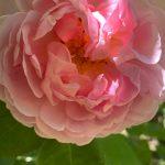 Variété de rose ancienne visible aux jardins de Roquelin à Meung-sur-Loire.